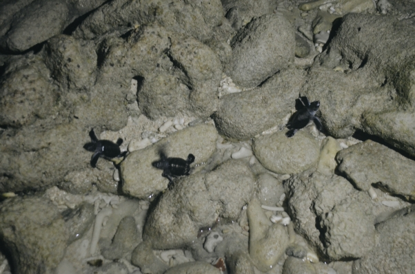 More baby turtles trying to get to the sea