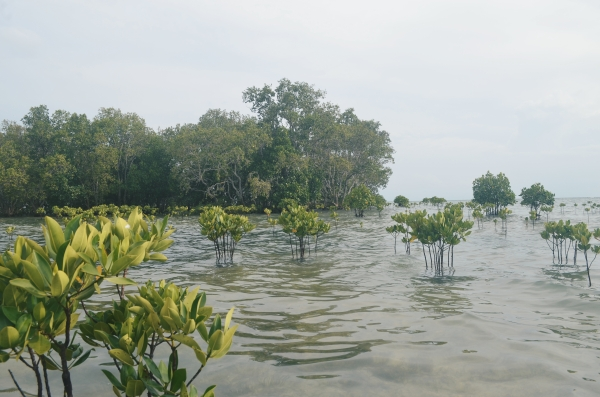 Little Mangroves